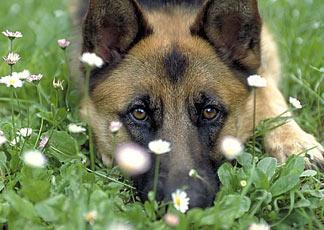 Per i cani in arrivo l 39 obbligo di microchip il sole 24 ore for Alberto pastore